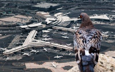 Were pigeons behind the Gatwick drone incident?