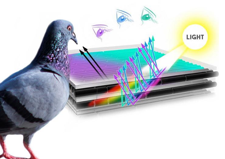 pigeon iridescence feathers