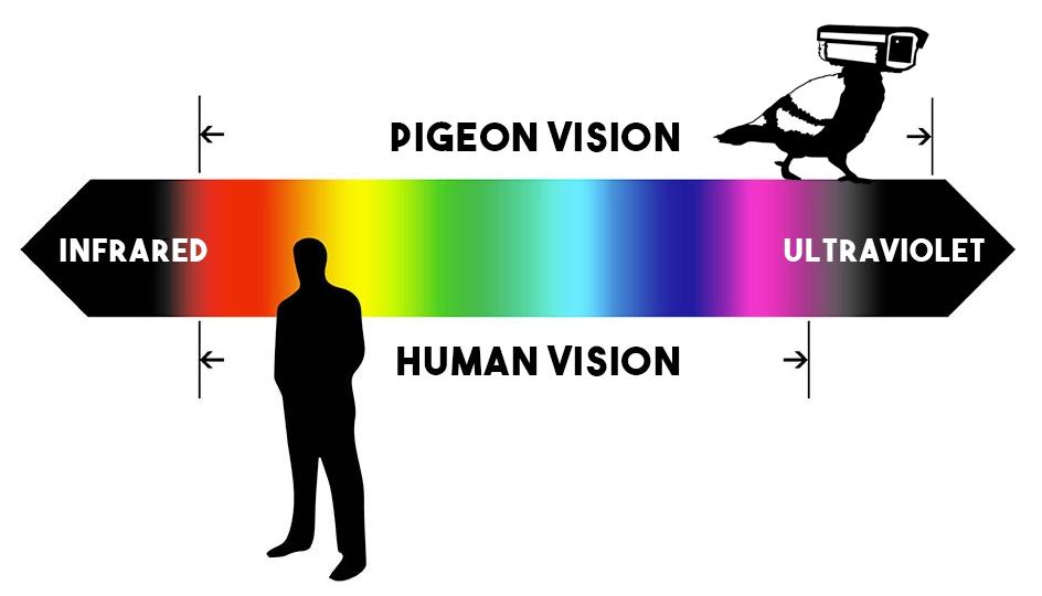 pigeon vision UV ultraviolet