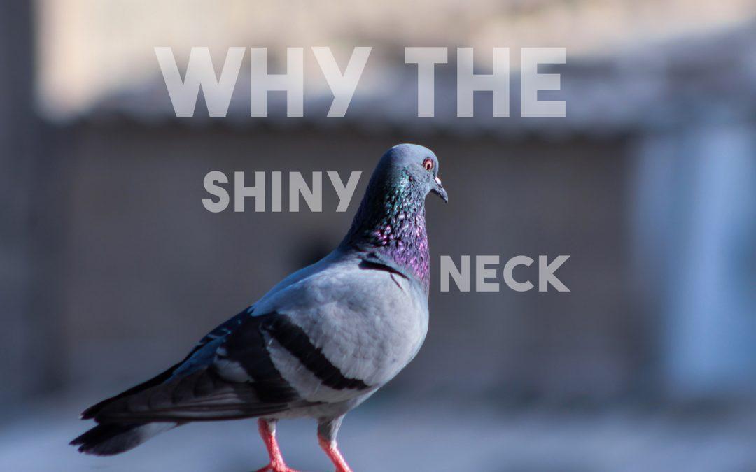 Why do pigeons have shiny iridescent necks?