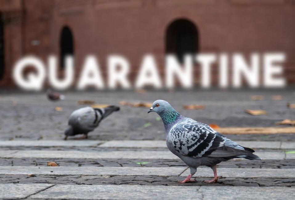 quarantine pigeon drone